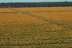 australia_undebri-sunflowers-079_hi_web