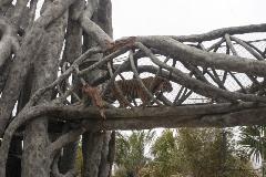 Tampa Galvanizing Tiger Enclosures